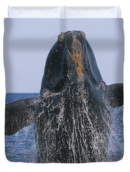 North Atlantic Right Whale breaching Duvet Cover by Tony Beck