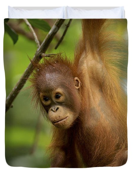 Orangutan Pongo Pygmaeus Baby Swinging Duvet Cover by Christophe Courteau