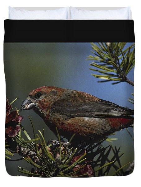Red Crossbill Feeds On Pine Cone Seeds Duvet Cover by Mark Wallner