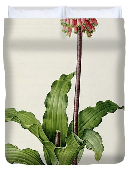 Veltheimia Capensis Duvet Cover by Pierre Joseph Redoute