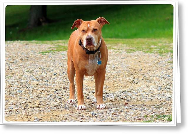 Framed Pit Bull Print Greeting Cards -     A Mans Best Friend Greeting Card by R A W M
