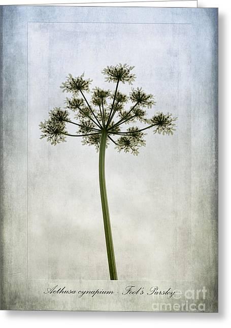 Stamen Digital Art Greeting Cards -  Aethusa cynapium Greeting Card by John Edwards