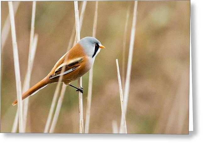 Beard Greeting Cards -  Bearded Tit Greeting Card by Ian Hufton
