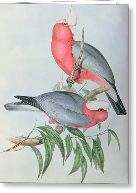 Lithography Greeting Cards -  Birds of Asia Greeting Card by John Gould