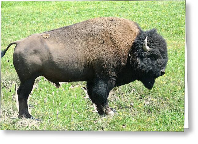 Buffalo Pyrography Greeting Cards -  Bison Greeting Card by Larry Stolle