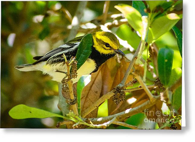 Black-throated Green Warbler Greeting Card by Carl Jackson