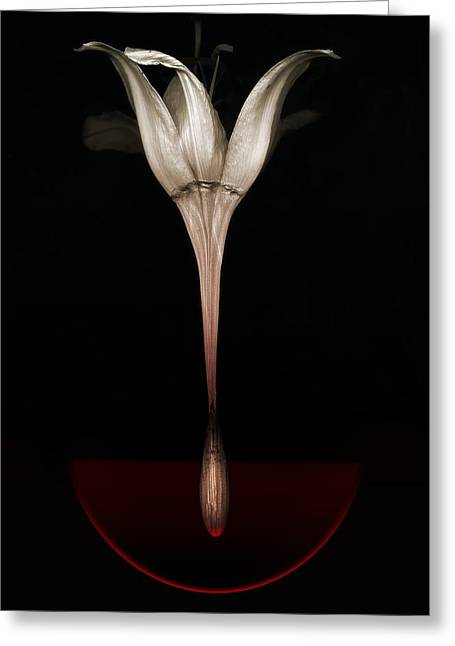 Photographs Digital Art Greeting Cards -  Bleeding lily Greeting Card by Johan Lilja