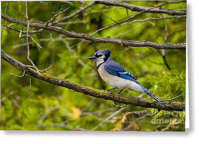 Blue Jay Images Greeting Cards -  Blue Jay Pictures 109 Greeting Card by World Wildlife Photography