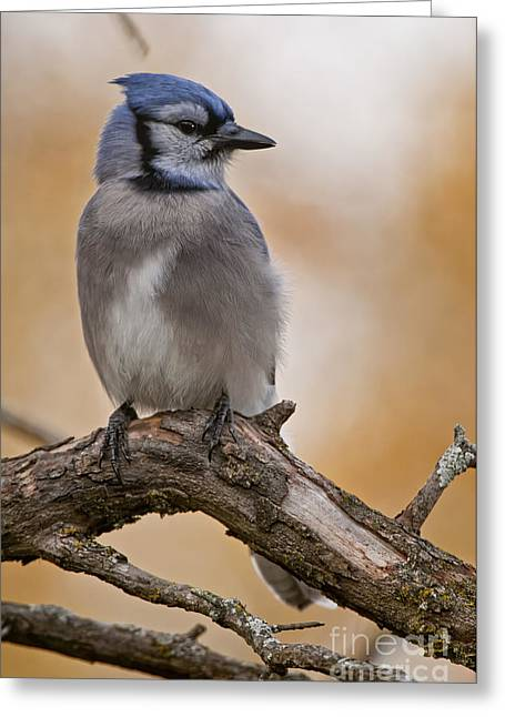 Blue Jay Images Greeting Cards -  Blue Jay Pictures 143 Greeting Card by World Wildlife Photography