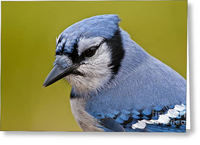 Blue Jay Images Greeting Cards -  Blue Jay Pictures 145 Greeting Card by World Wildlife Photography