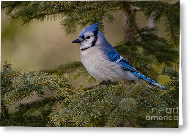 Blue Jay Images Greeting Cards -  Blue Jay Pictures 88 Greeting Card by World Wildlife Photography
