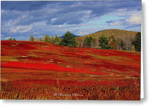 Blueberry Barrens Greeting Cards -   Blueberry Barrens Greeting Card by Donald Cramer