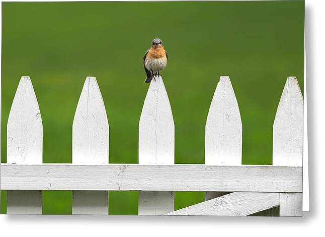 Fence Greeting Cards -  Bluebird On The Fence Square Greeting Card by Bill  Wakeley