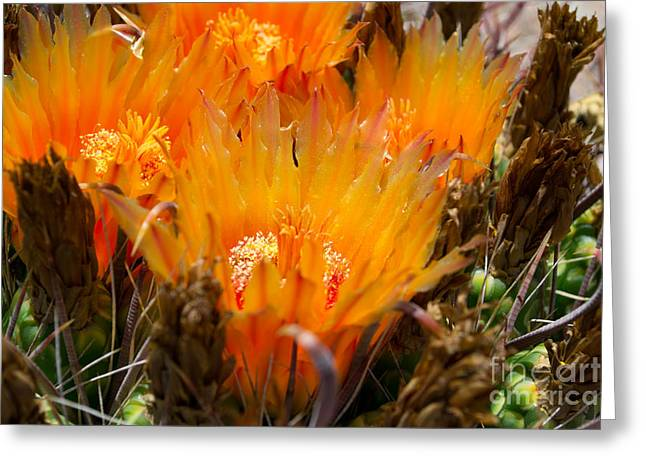 Yellow Glass Greeting Cards -  Candy Barrel Cactus Greeting Card by Beverly Guilliams