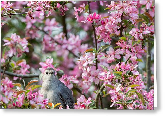 Birds With Flowers Greeting Cards -  Catbird In A Pear Tree Square Greeting Card by Bill  Wakeley