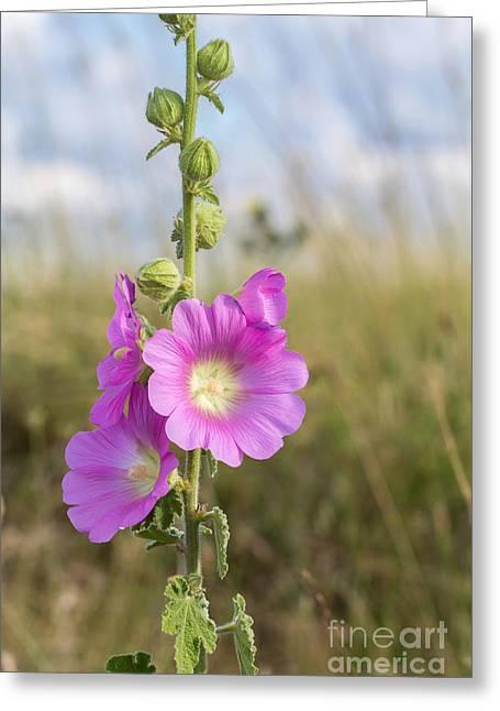 Alcea Rosea Greeting Cards -  Charming Hollyhock Flowers Greeting Card by Jivko Nakev
