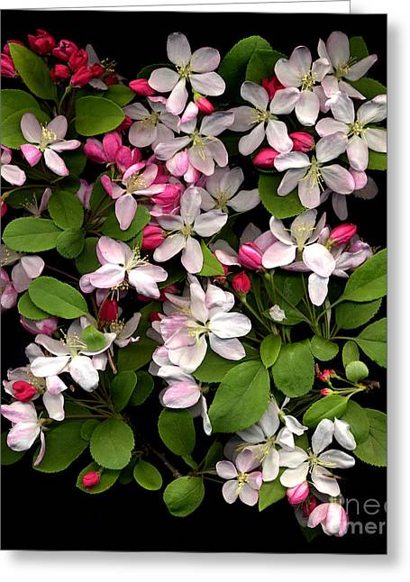 Bright Greeting Cards -  Cherry Blossom Greeting Card by Jacqui Martin