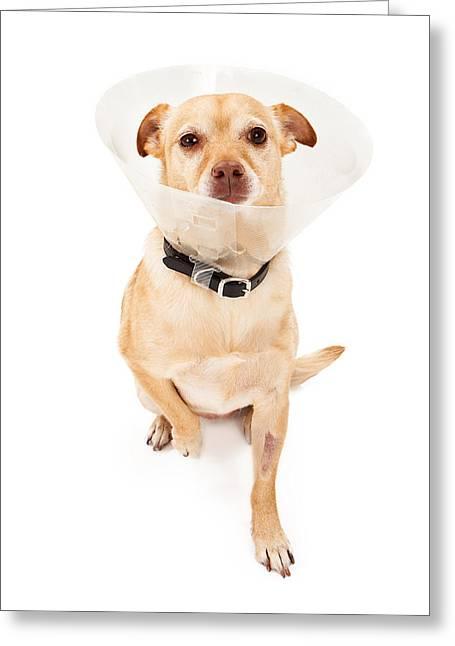 Obedient Greeting Cards -  Chihuahua Mix Dog With Cone  Greeting Card by Susan  Schmitz