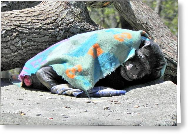 Southwick Greeting Cards -  Chimpanzee sleeping Greeting Card by Brian Mooney
