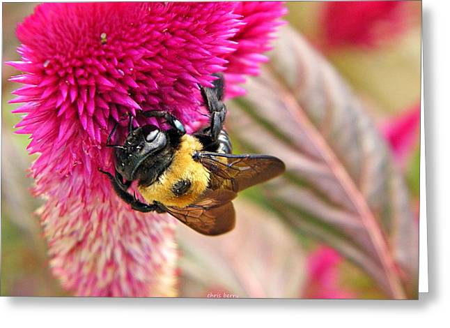 Cockscomb And Bumble Bee Greeting Card by Chris Berry