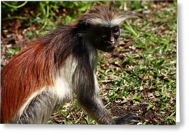 Mangrove Forest Greeting Cards -  Colobus Monkey Greeting Card by Aidan Moran