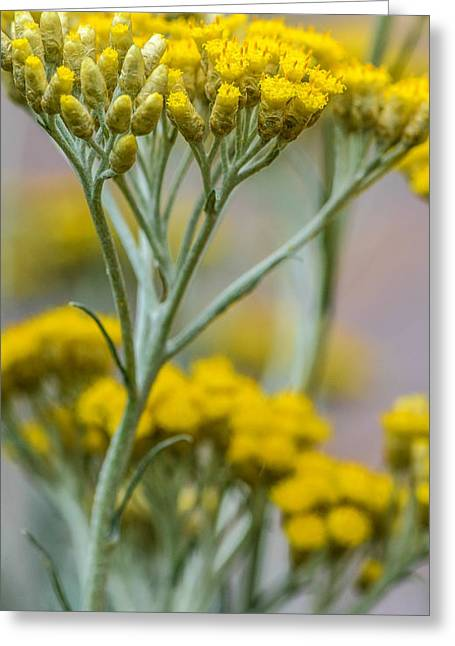 Essential Greeting Cards -  Curry Plant Aroma Greeting Card by Julie Palencia