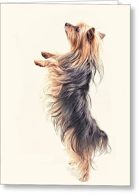 Dog Photo Greeting Cards -  Dancing Yorkshire Terrier Greeting Card by Susan Stone