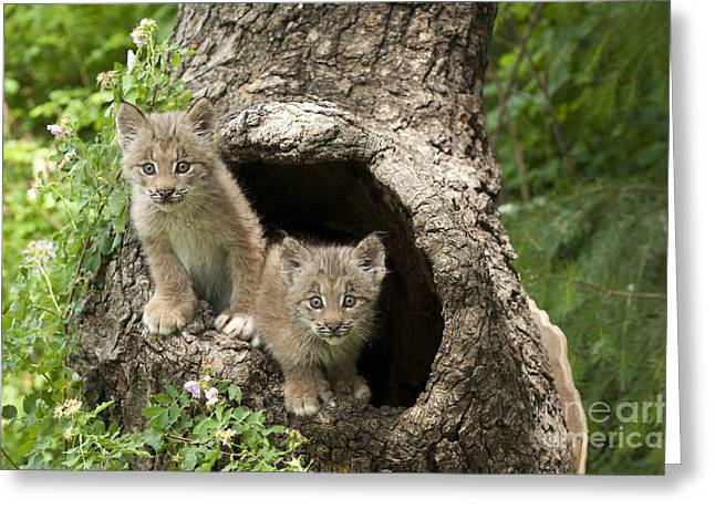 Canadian Lynx Greeting Cards -  Double Trouble Greeting Card by Sandra Bronstein