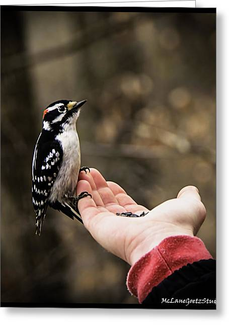 Woodpecker Greeting Cards -  Downy Woodpecker in hand Greeting Card by LeeAnn McLaneGoetz McLaneGoetzStudioLLCcom