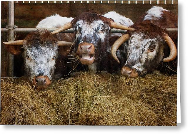 Shabbychic Greeting Cards -  English Longhorn Cattle. Greeting Card by ShabbyChic fine art Photography