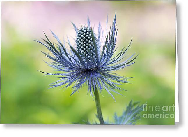 Bract Greeting Cards -  Eryngium Superbum Greeting Card by Tim Gainey