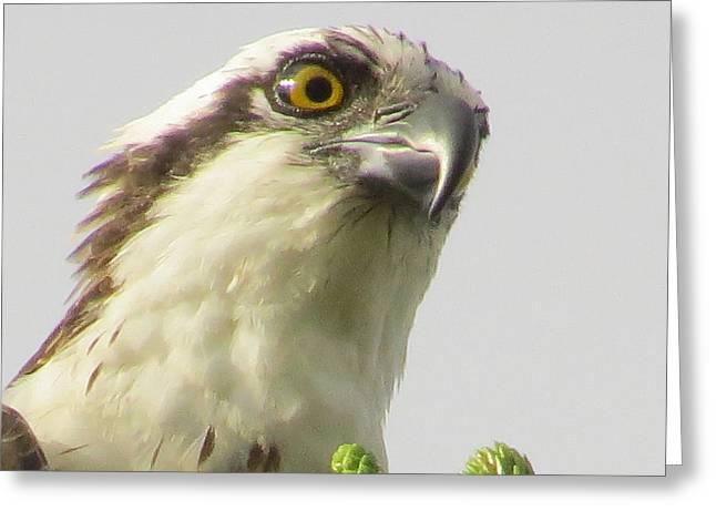 Eye Of The Osprey Greeting Card by Zina Stromberg