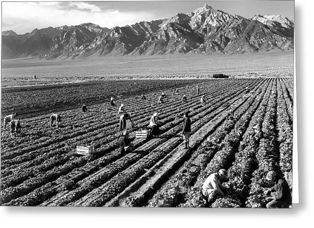 Picking Digital Art Greeting Cards -  Farm Workers And Mount Williamson Greeting Card by Ansel Adams