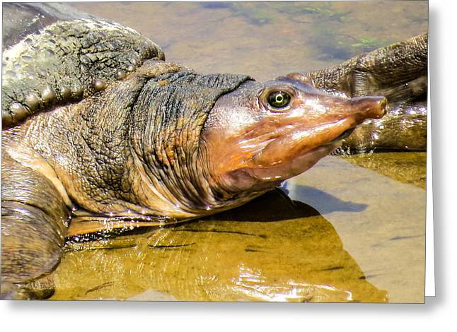 Snorkel Greeting Cards -  Florida softshell turtle Greeting Card by Zina Stromberg