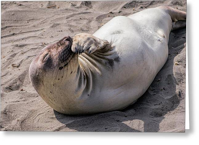 Elephant Seals Greeting Cards -  Giggle Greeting Card by Ursula Klepper