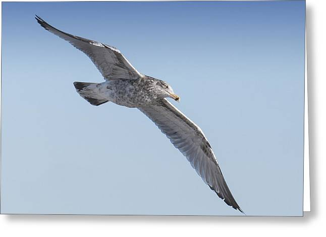 Sea Birds Greeting Cards -  Gull Friend Greeting Card by Ross Powell