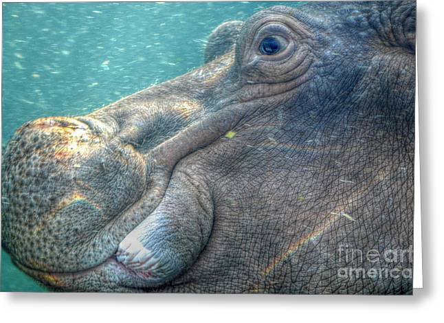Underwater Photos Greeting Cards -  Hippopotamus Smiling Underwater  Greeting Card by Peggy  Franz