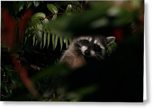 I Can See You  Mr. Raccoon Greeting Card by Kym Backland