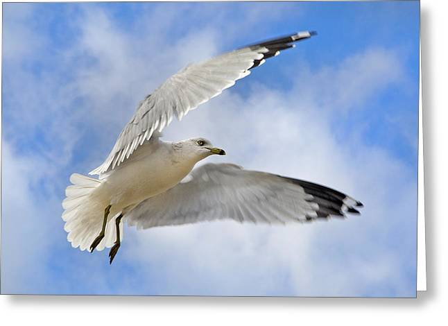 Gull Seagull Greeting Cards -  Jekyll Island Seagull Greeting Card by Betsy C  Knapp
