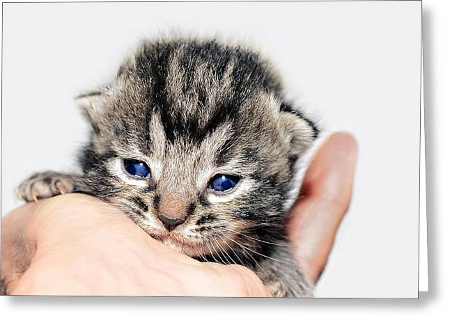 Susan Leggett Photographs Greeting Cards -  Kitten in a Hand Greeting Card by Susan Leggett