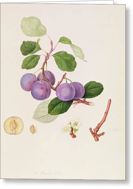 Plum Blossoms Greeting Cards -  La Royale Plum Greeting Card by William Hooker
