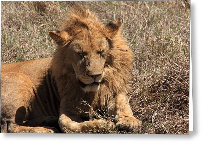 Protrait Greeting Cards -  Lions of The Ngorongoro Crater - Tanzania Greeting Card by Aidan Moran