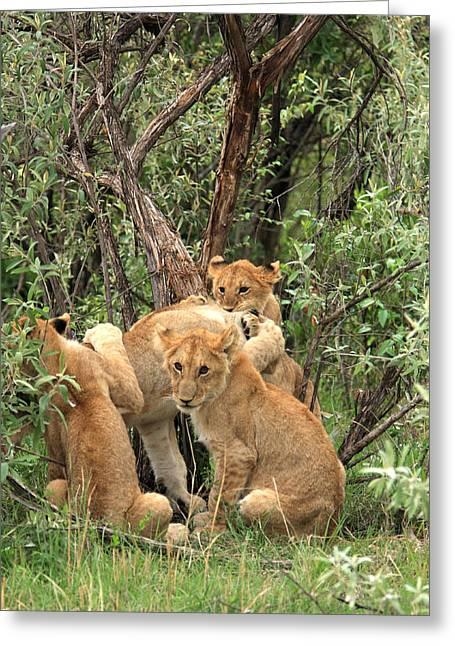 Moran Greeting Cards -  Masai Mara Lion Cubs Greeting Card by Aidan Moran