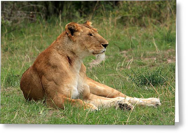 Lions Greeting Cards -  Masai Mara Lioness Greeting Card by Aidan Moran