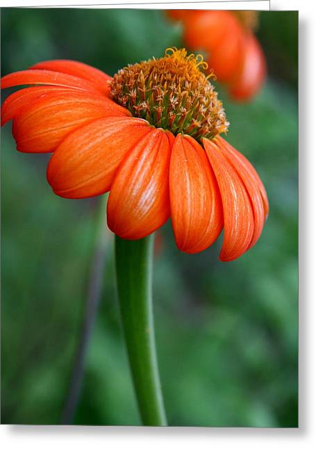 Flower Photograph Greeting Cards -  Mexican Sunflower  Greeting Card by Neal  Eslinger