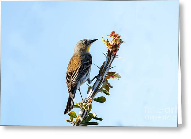 Haybale Greeting Cards -  Migrating Warbler Greeting Card by Robert Bales
