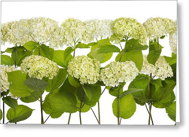 Mourning White And Green Flowers Line Isolated Greeting Card by Aleksandr Volkov