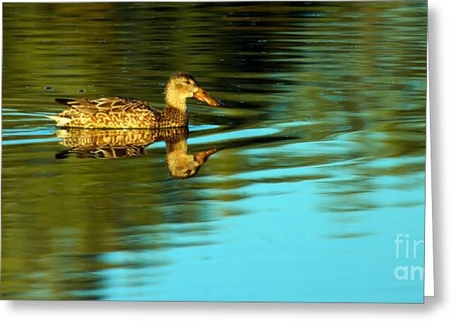 Anatinae Greeting Cards -  Northern Shoveler Duck Greeting Card by Robert Bales