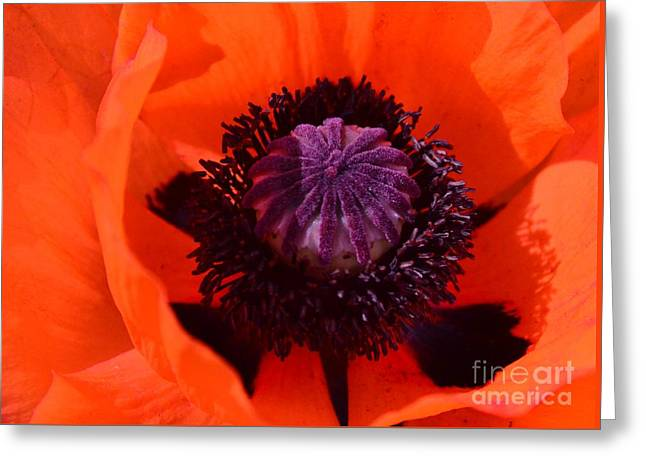 Orange Poppy Greeting Card by Kathleen Struckle