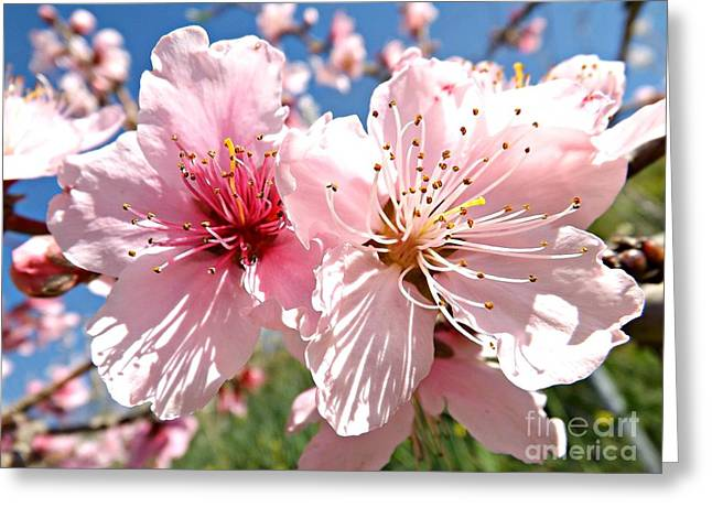 Fruit Tree Art Greeting Cards -  Peach Blossom Greeting Card by Clare Bevan